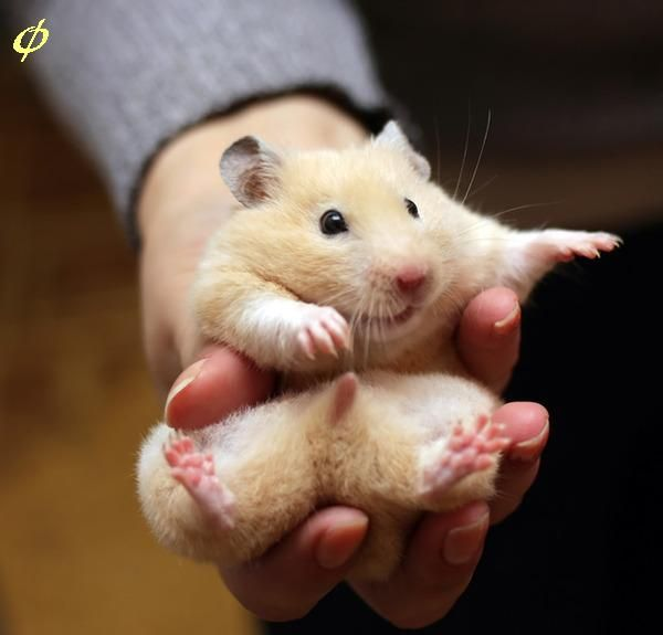 Can Baby Robo Hamsters Eat Human Baby Food