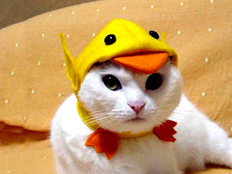 cats-funny-pet-costume-wallpaper