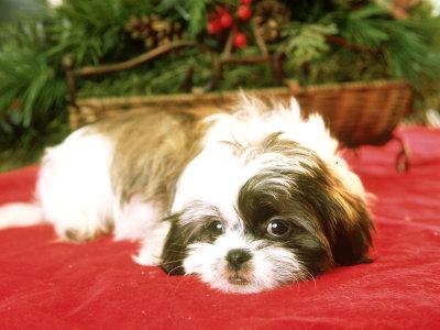 Adorable Christmas Puppies 1funny Com
