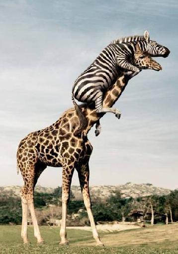 zebra riding a giraffe � 1funnycom
