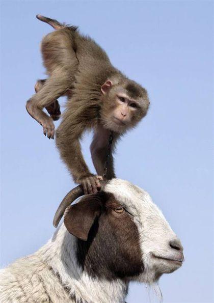 Monkey Goat – 1Funny.com