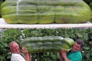 big-cucumber