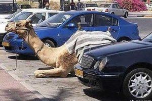 parked-camel