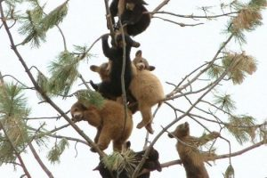 bears-on-a-tree