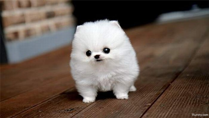 Tiny Puppy 1funny Com