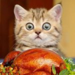 Turkey Kitten