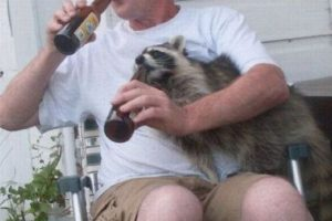 drinking-with-racoon