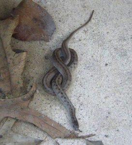 Pretzel Snake