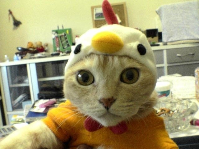 chicken cat 1funny