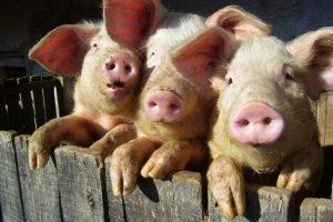 3-piglets