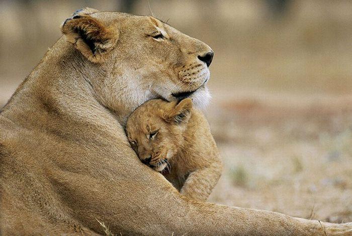 lion hug. Black Bedroom Furniture Sets. Home Design Ideas