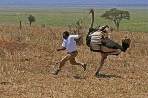 chased-by-ostritch