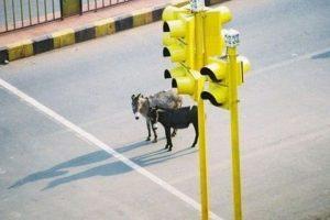 donkeys-traffic-lights