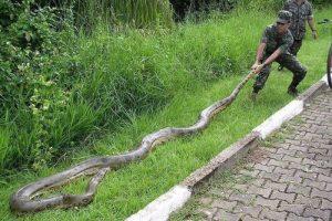 big-snake