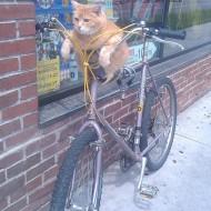 Cat Cyclist