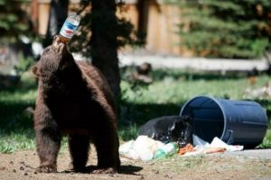 pepsi-bear