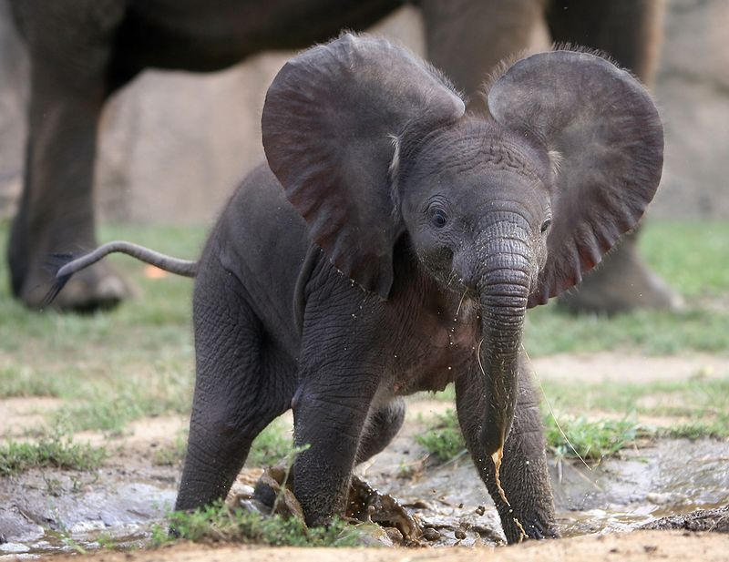 Elephant newborn baby - photo#2