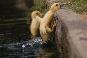 ducklings-climb