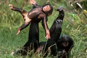 chimpanzes-funny
