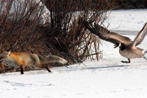geese-chasing-fox