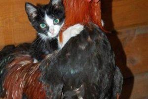 kitten-rooster
