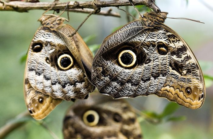 Owl butterfly - photo#4