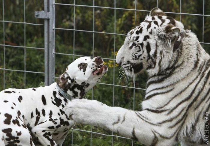 اجمل السنوريات البيضاء-2- white-tiger-dalmatio
