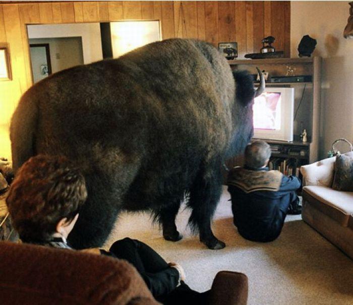 amusing living room | Buffalo in the Living Room – 1Funny.com