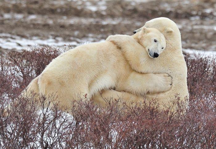 polar bear hug. Black Bedroom Furniture Sets. Home Design Ideas