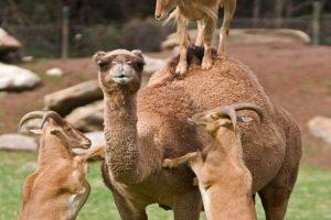 goats-climb-camel