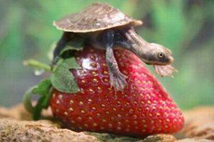 turtle-strawberry