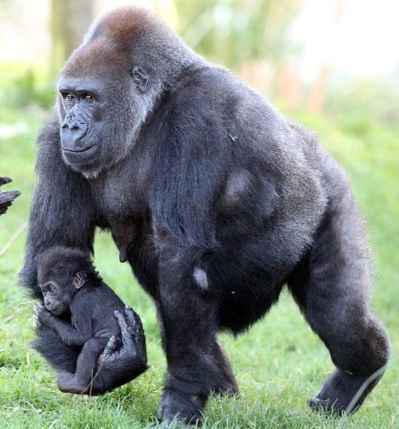 Gorilla Carrying Baby ...