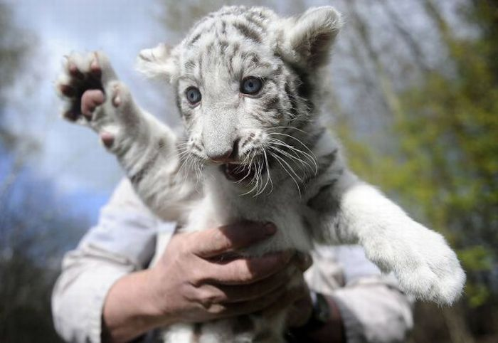 White tiger cub 1funny admin pictures 1 cute tiger cubs white tigers altavistaventures Images