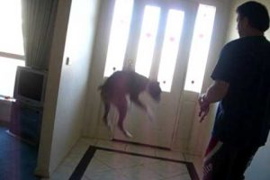 Dog Really Wants to go for a Walk