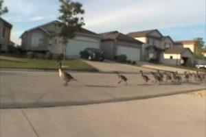 Geese Marathon
