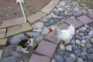 Rooster Police Breaks Up a Rabbit Fight