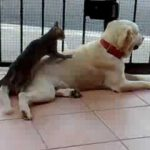 Cat Massages Dog