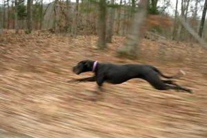 Great Dane Running 30mph