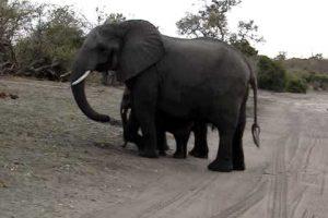 Baby Elephant Sneezes