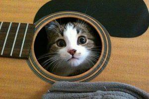 cat-guitar