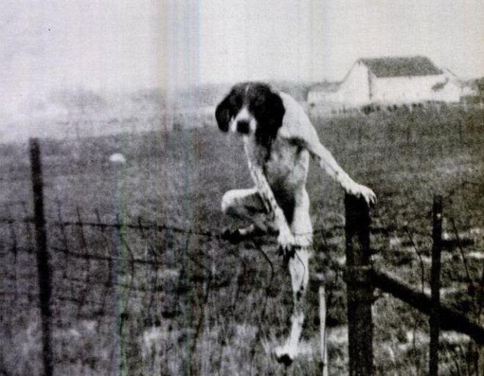 dog climbing fence