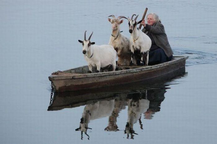 goats on a boat 1funny com