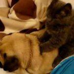 Cat Massages Snoring Dog