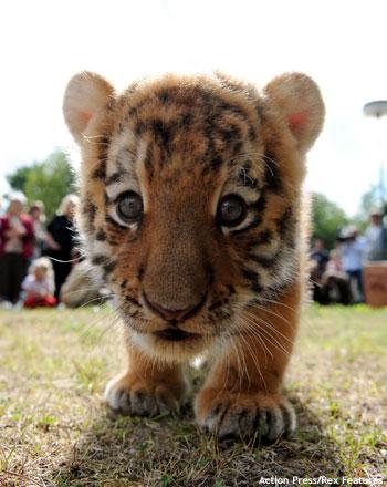 Cute Tiger Cub - 1Funny.com