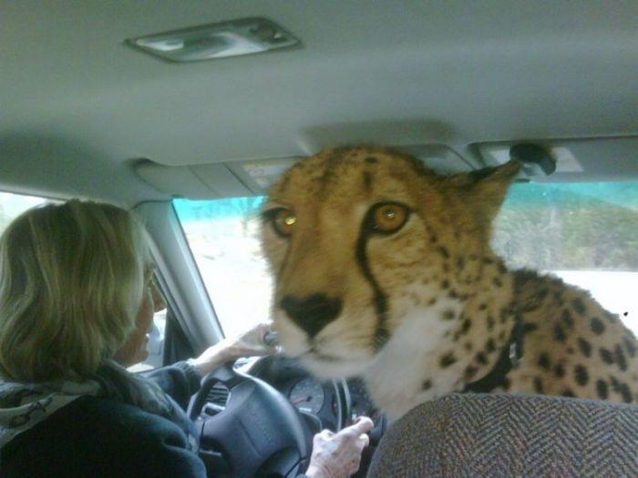 Cheetah In A Car 1funny Com