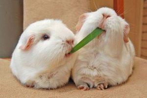 guinea-pigs-share