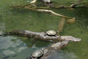 turtle-on-gators