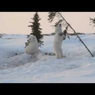 Polar Bear Cubs Play