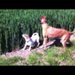 Jumping Kangaroo Dog