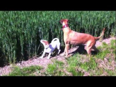Jumping Kangaroo Dog